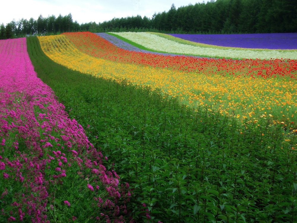 The Rainbow of Flowers in Biei and Furano, Japan (3/6)