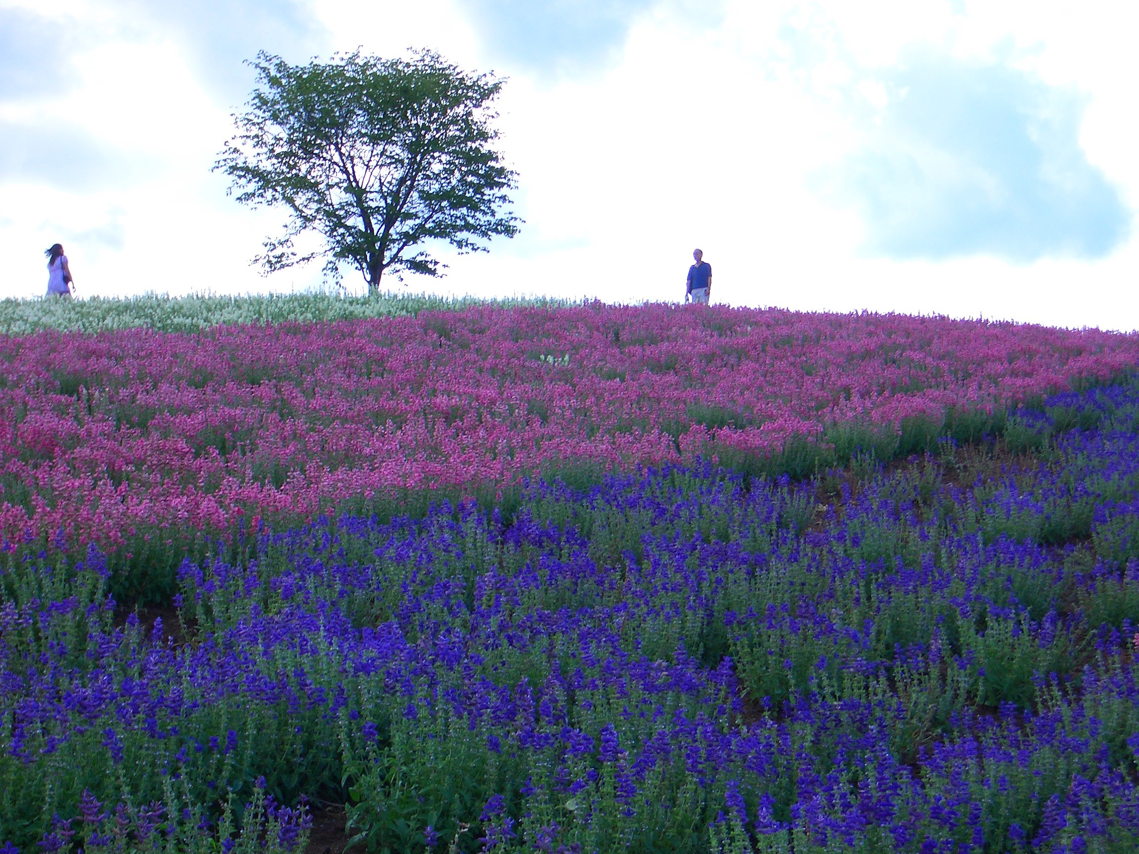 The Rainbow Of Flowers In Biei And Furano Japan