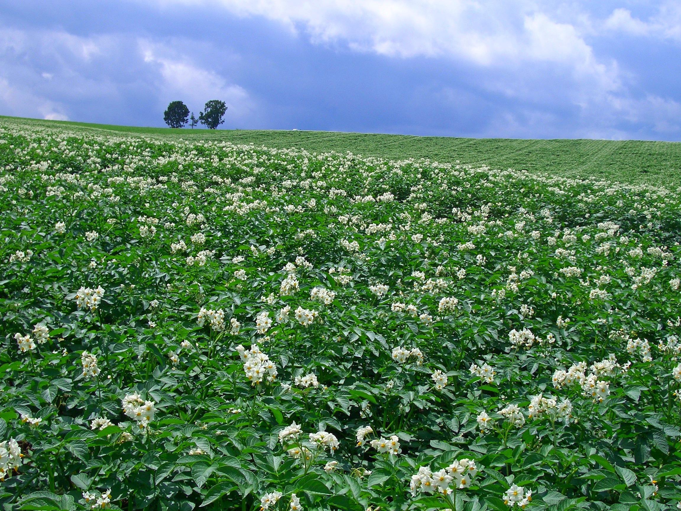 potato flower | retireediary