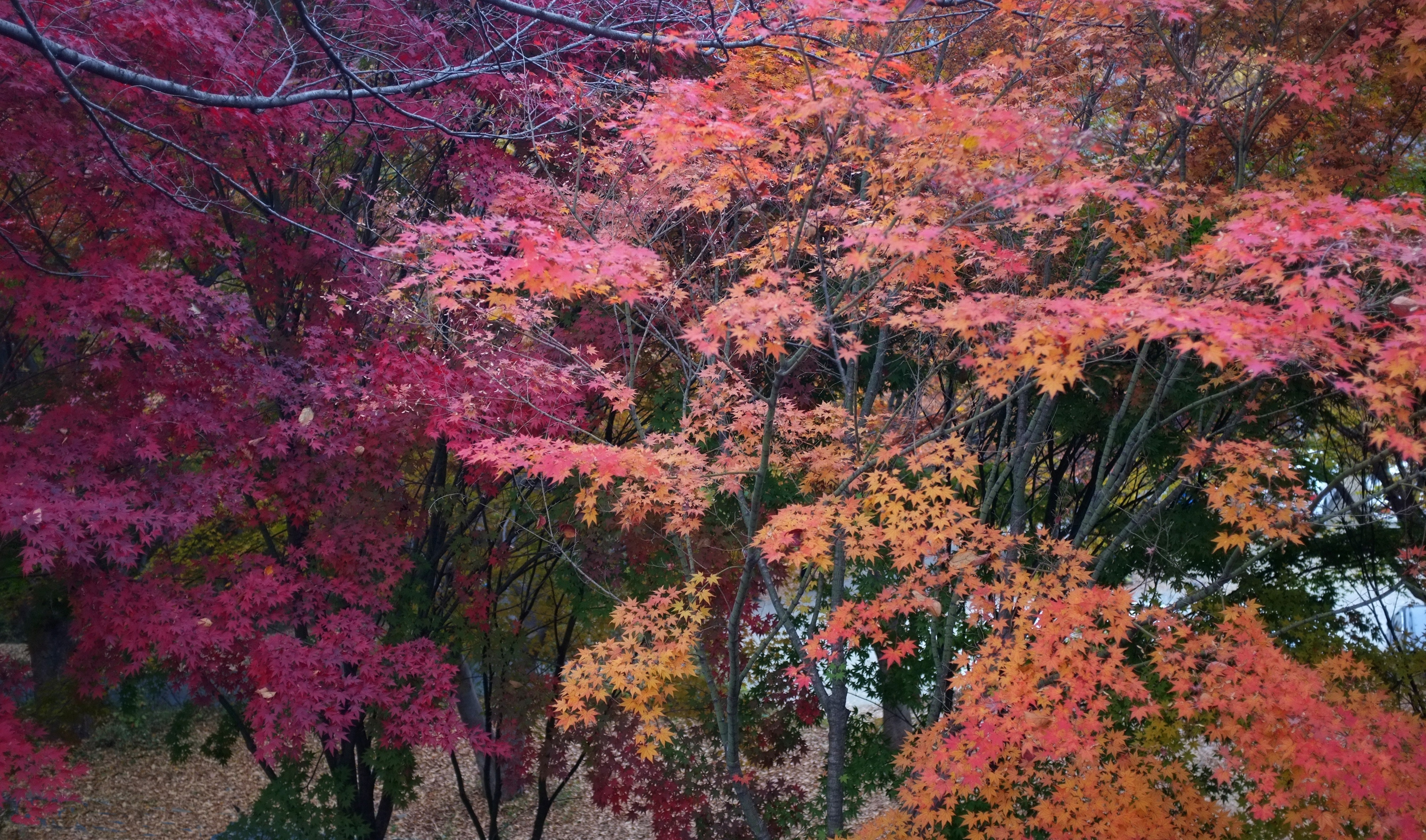 28581f7d01bbf More Starry Fall Foliage Photos, South Korea | retireediary