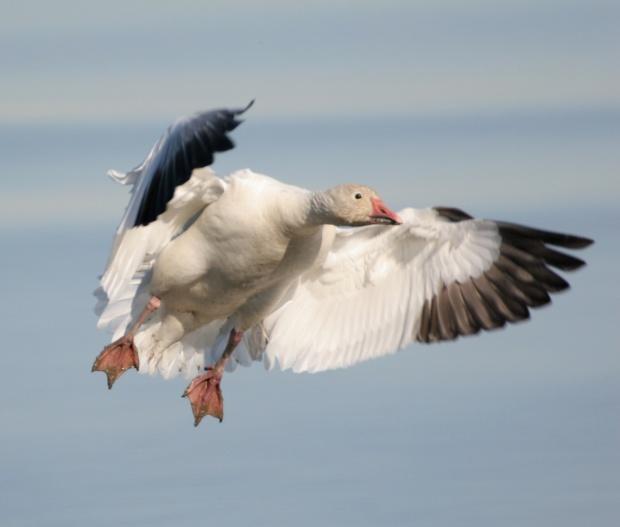 snow geese 01