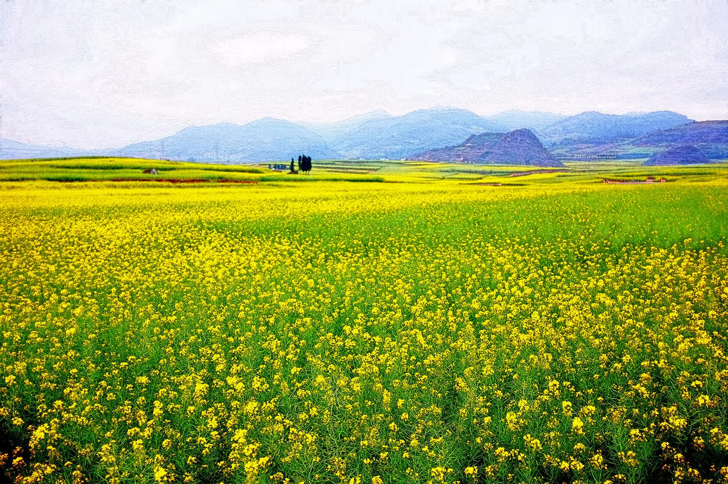 Canola Flowers Retireediary